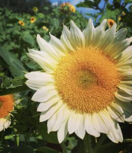 White Lite sunflower
